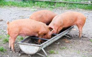 snouts-in-the-trough